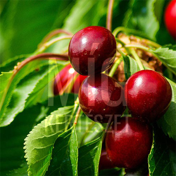 cseresznye